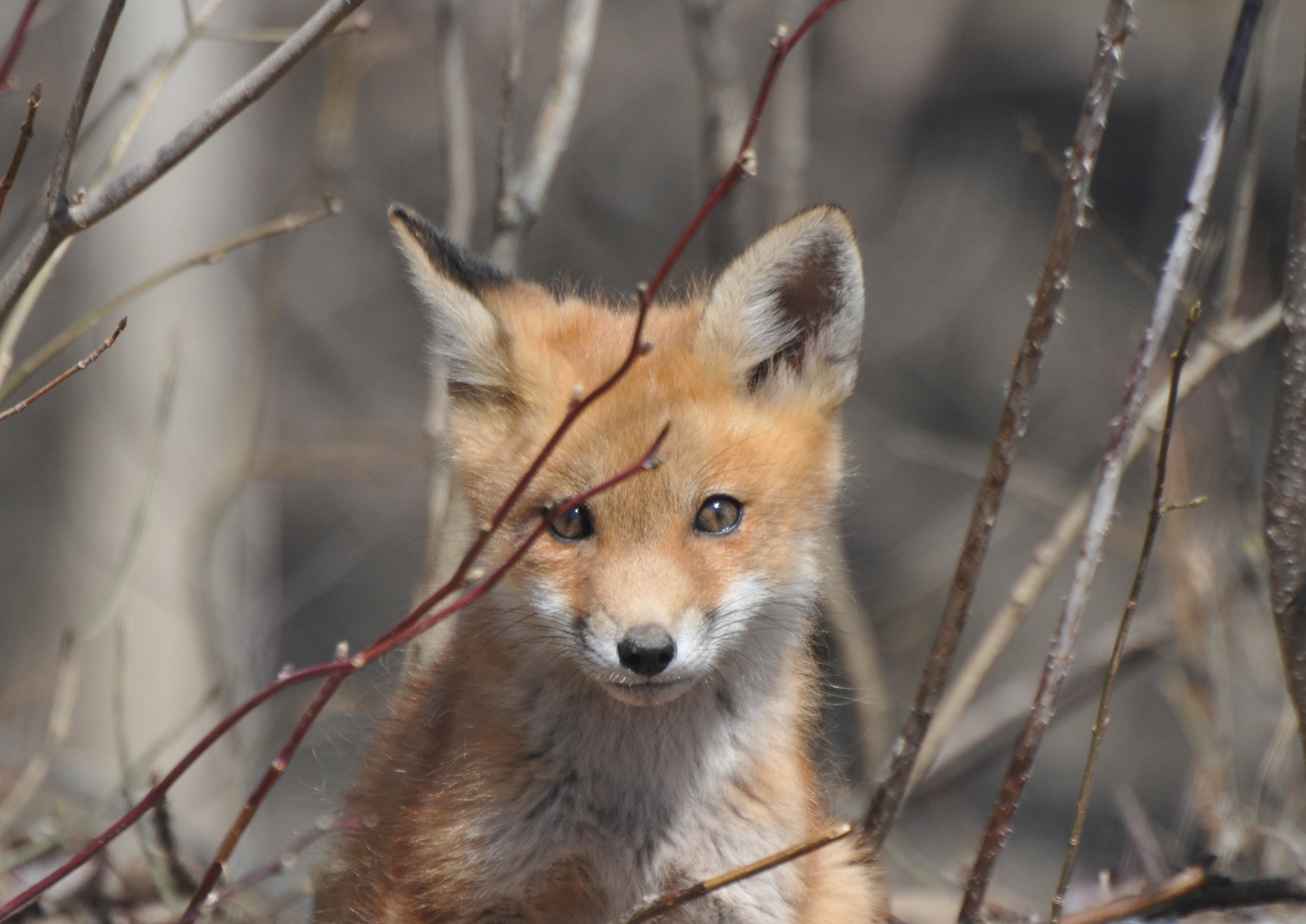 Photo of a fox